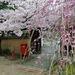 Thumbnail of 染井吉野・枝垂れ桜